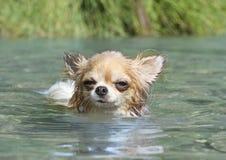 游泳奇瓦瓦狗在河 库存照片
