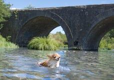 游泳奇瓦瓦狗在河 免版税库存图片