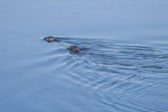 游泳封印 库存照片