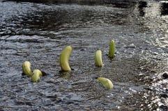 游泳小河的香蕉 免版税库存图片