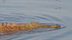 游泳尼罗鳄鱼 库存照片