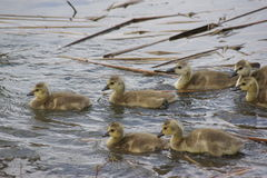 游泳幼鹅 库存图片