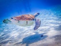 游泳库拉索岛景色的乌龟 图库摄影