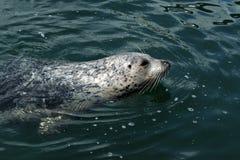 游泳斑海豹 免版税库存照片