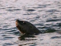 游泳斯特勒海狮 库存照片