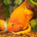 游泳橙色的金鱼在水面下 免版税库存照片