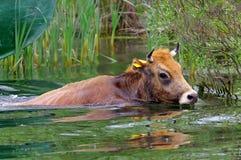 游泳母牛 免版税库存照片