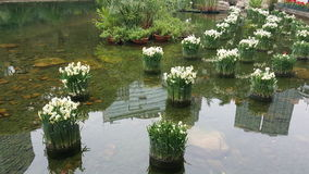 游泳池边水仙花在城市公园 免版税库存照片