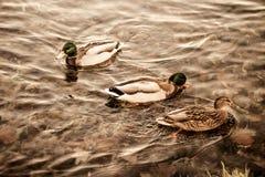 游泳沿湖的小组野鸭在一个温暖的秋天晚上在日落期间 免版税库存照片