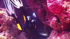 游泳沿礁石的小组潜水者在巴哈马 股票录像