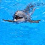 游泳海豚 免版税库存照片