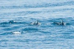 游泳海豚 免版税图库摄影