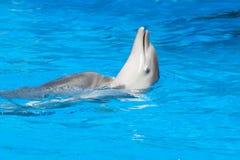 游泳海豚 库存照片