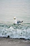 游泳海鸥 免版税库存照片