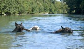 游泳狗 库存照片