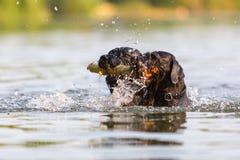游泳用一根木棍子的两条狗 免版税库存图片