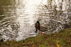游泳的两只鸭子 库存图片