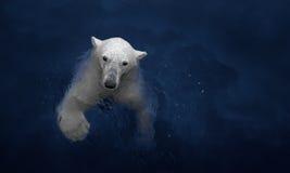 游泳的北极熊,白熊在水中 免版税库存图片