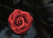游泳的唯一红色玫瑰在水的黑背景 库存照片