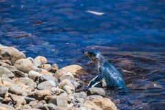 游泳的小的企鹅在水中 图库摄影