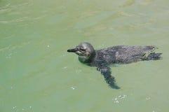 游泳的少年非洲企鹅 免版税库存照片
