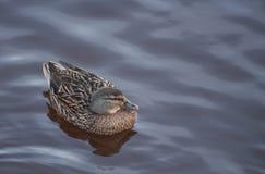 游泳的幼小鸭子在冬天 免版税库存照片