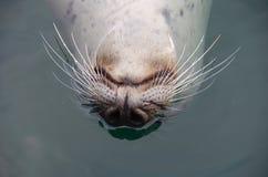游泳的斑海豹颠倒 免版税库存照片