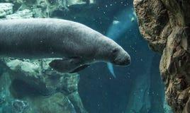 游泳的海牛在水面下 免版税库存图片