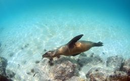 游泳的海狮在水面下 库存照片
