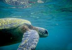 游泳的海龟在水面下 库存图片