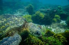 游泳的海龟在水面下 免版税库存图片