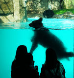 游泳的熊 库存照片