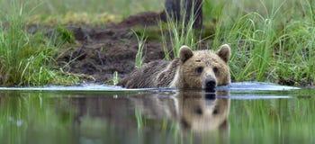 游泳的狂放的棕熊在池塘 库存照片