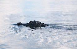 游泳的美国短吻鳄 免版税图库摄影