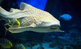 游泳的虎鲨在水面下 图库摄影