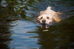 游泳的金毛猎犬狗 库存图片