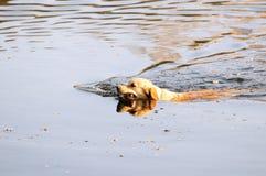 游泳的金毛猎犬狗 免版税库存图片