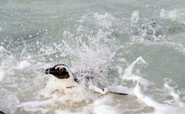 游泳的非洲企鹅 库存照片