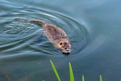 游泳的麝香鼠在Hillsboro,俄勒冈附近的一个池塘 免版税库存图片