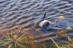 游泳的Snorkeler在水面下 免版税图库摄影