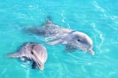 游泳绿松石水的蓝色夫妇海豚 库存图片