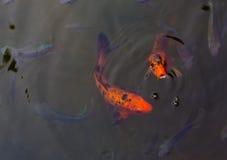 游泳美好的背景的Koi鱼 图库摄影