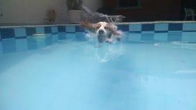 游泳者狗 库存图片