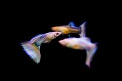 游泳色彩艳丽的胎生小鱼热带鱼 免版税库存图片