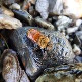 游泳蜂蜜蜂 库存图片