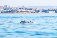 游泳表面上的海豚,拍摄从在阿尔布费拉海岸的经验小船,阿尔加威葡萄牙 图库摄影