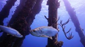 游泳通过码头柱子的大海鲢  免版税库存照片