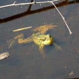 游泳青蛙 免版税库存照片