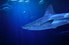 游泳鲨鱼 库存照片