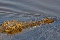 游泳鳄鱼特写镜头 免版税库存图片